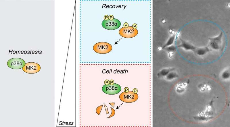 To die or not to die in response to stress, a decision regulated by MK2 protein levels