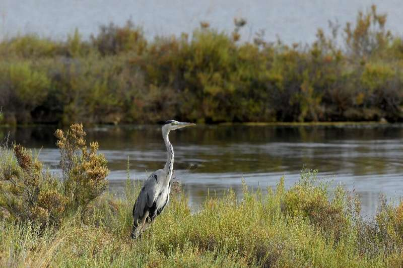 To save a salt marsh conservationists opted to let nature take its course