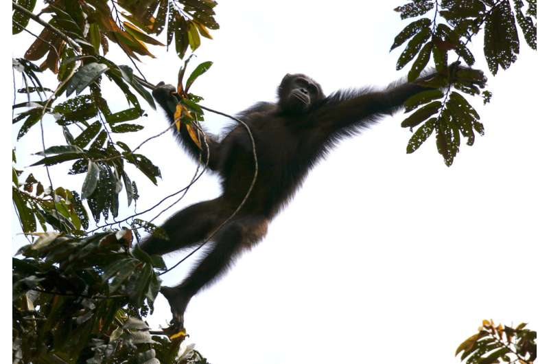 To understand future habitat needs for chimpanzees, look to the past