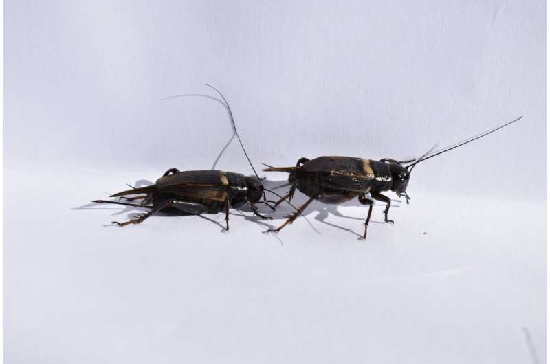Traffic noise makes mating crickets less picky