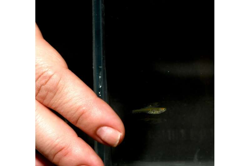 Transparent fish without a skull roof becomes a model organism for neurophysiology