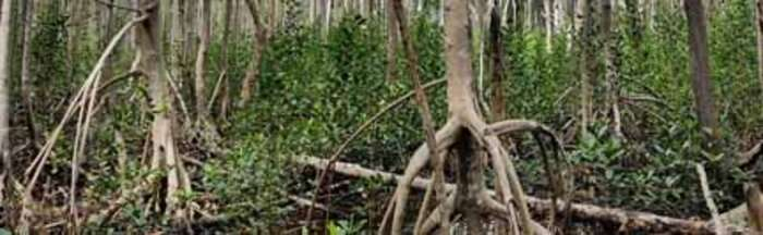 Trapped saltwater caused mangrove death after Hurricane Irma