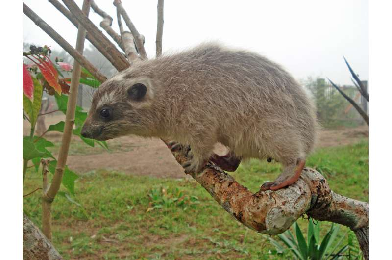 Tree Hyrax (Dendrohyrax dorsalis)