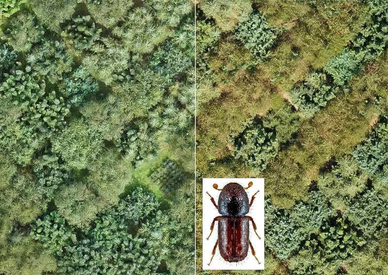 Tree species diversity is no protection against bark beetle infestation