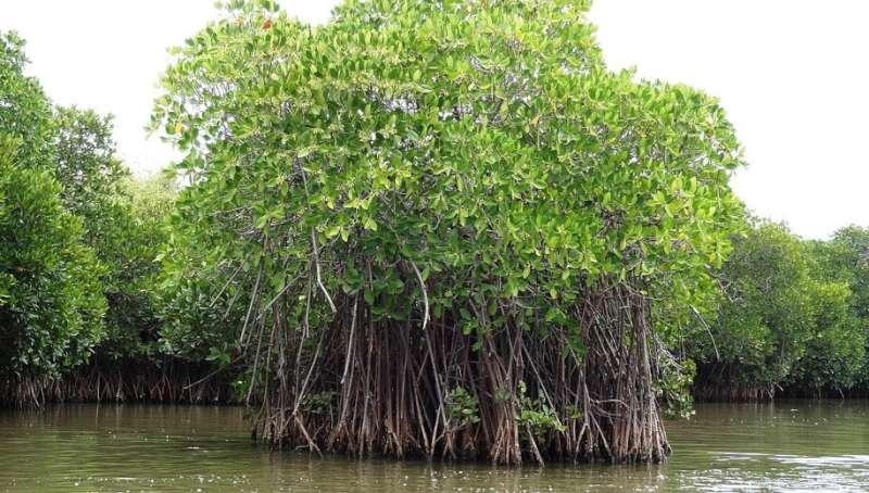 tropical-cyclones-mangroves