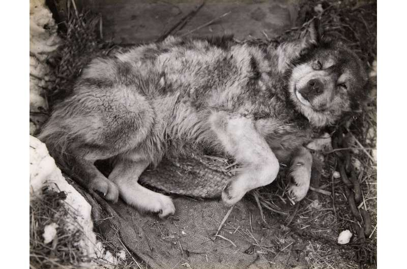 Tuckered Out: Early Antarctic Explorers Underfed Their Dogs