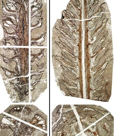 Two new genera and species of conifers discovered from upper Cretaceous in Hokkaido, Japan