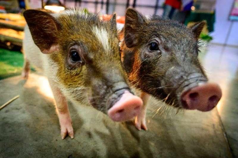 two-pygmy-pigs-run-aro-1.jpg