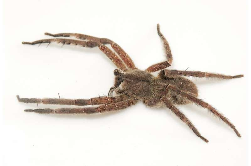 Two species and a single name: 'Double identity' revealed in a venomous banana spider