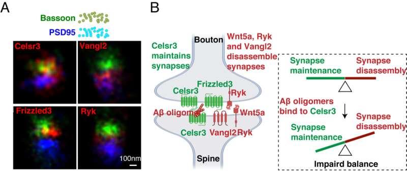 UC San Diego researchers discover key mechanisms behind synapse degeneration in Alzheimer's brain