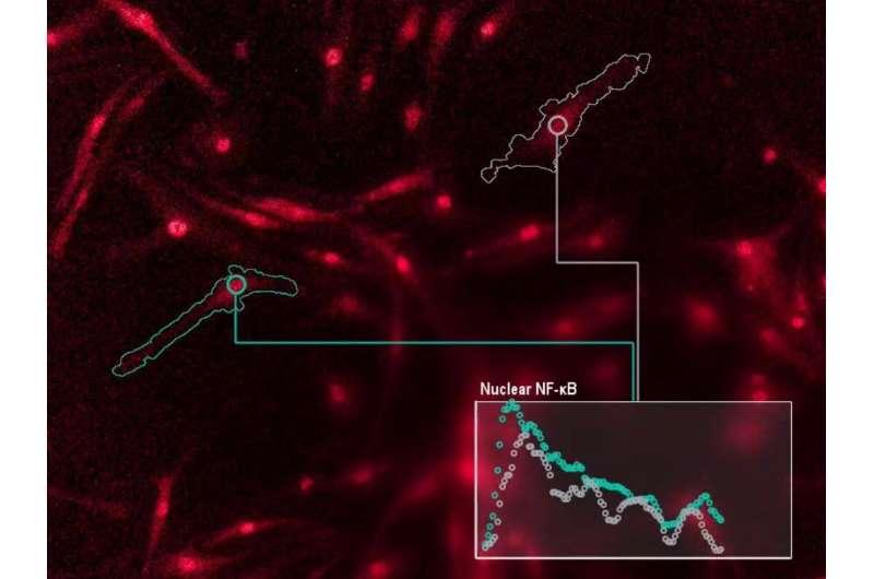 UCLA scientists decode the 'language' of immune cells