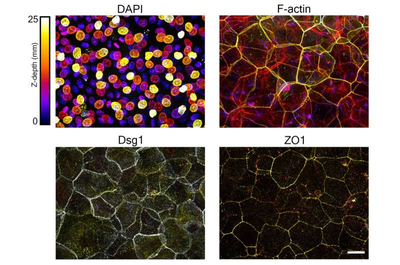 Uncovering cellular mechanisms driving epidermal form and function