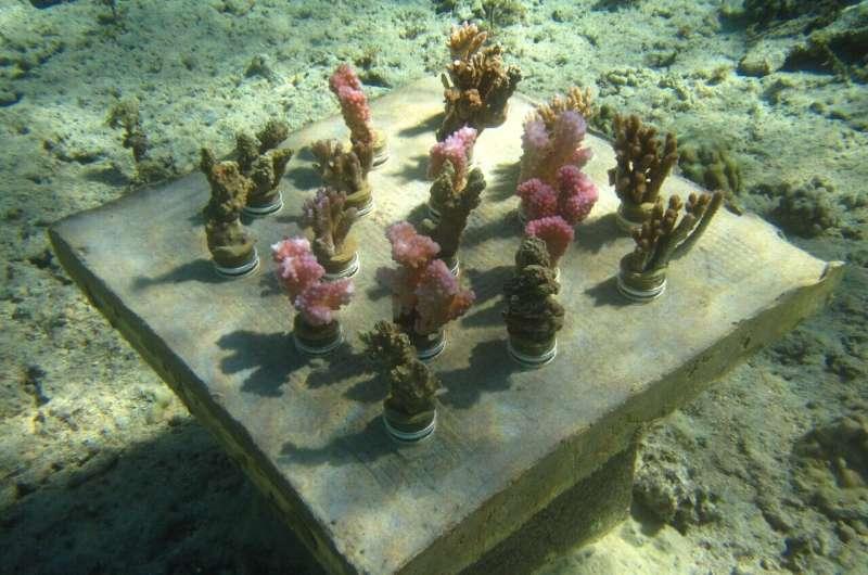 Underwater gardens boost coral diversity to stave off 'biodiversity meltdown'