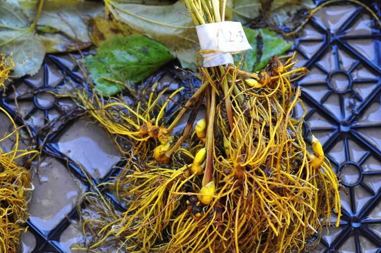 Uniform drying time for goldenseal to enhance medicinal qualities of forest herb