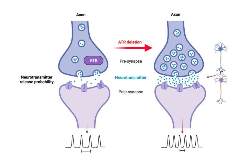 Unknown role - ATR protein regulates neuronal activity