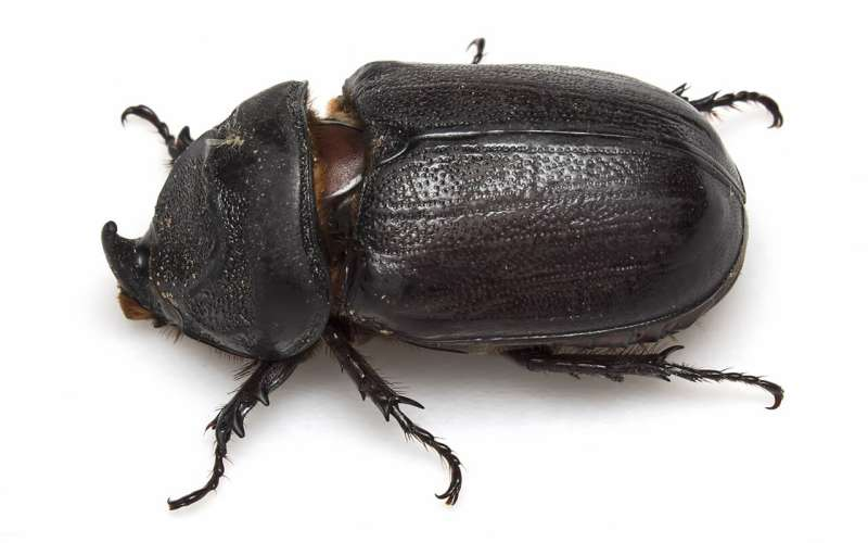 'Unshackled' palm-destroying beetles could soon invade Australia