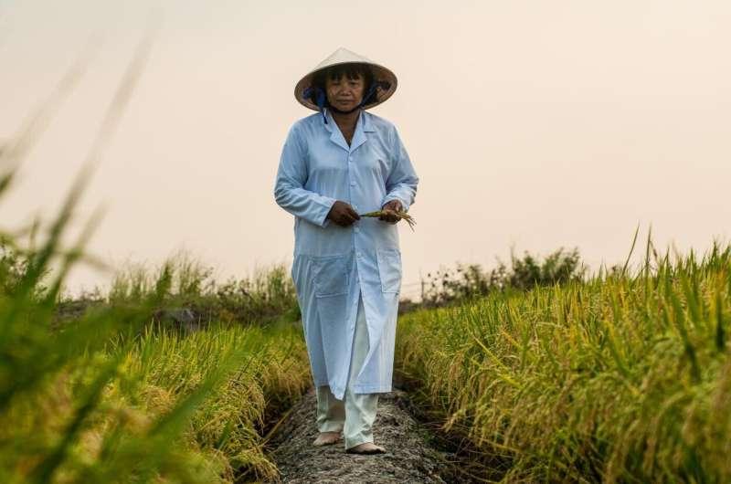 Las variedades de arroz sin explotar podrían sustentar los suministros de cultivos frente al cambio climático