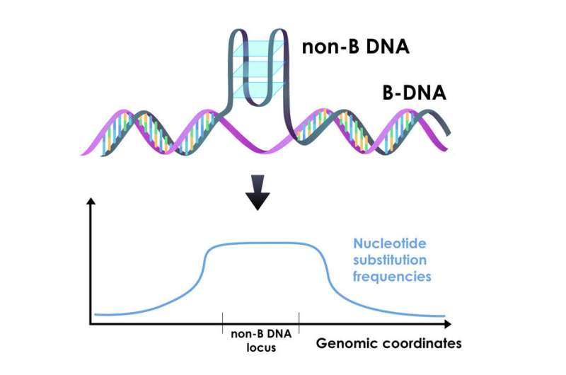 Unusual DNA folding increases the rates of mutations