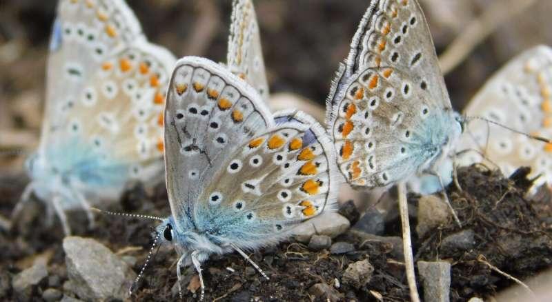 Estudio de uOttawa primero para investigar la mariposa recién introducida que podría generalizarse en Canadá