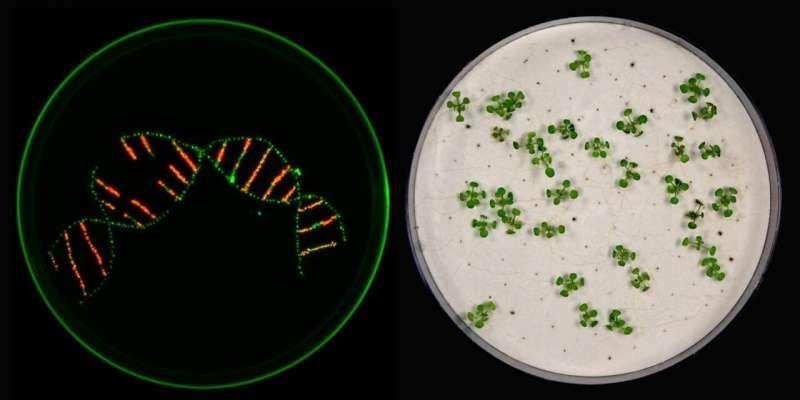 Actualización para CRISPR / Cas: los investigadores eliminan varios genes en plantas a la vez