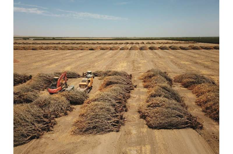 Uprooted almond trees, destroyed for lack of water, lie in a field in  Huron, California, in July 2021