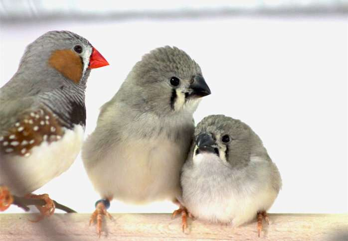 Urban traffic noise causes song learning deficits in birds