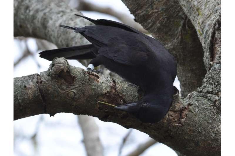 Uso de la codificación genética para determinar qué árbol prefieren los cuervos de Nueva Caledonia para fabricar herramientas