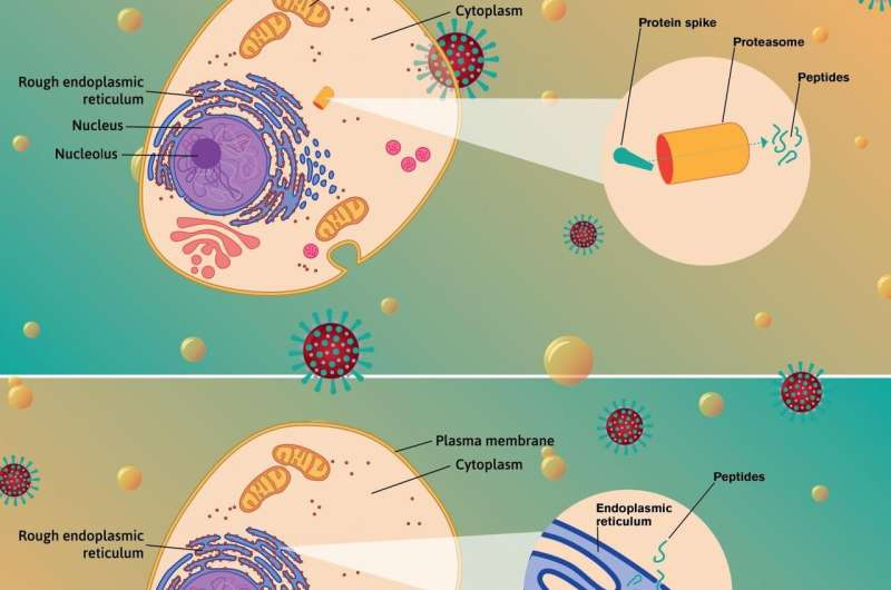 Variances in critical protein may guide fate of those infected with SARS CoV-2