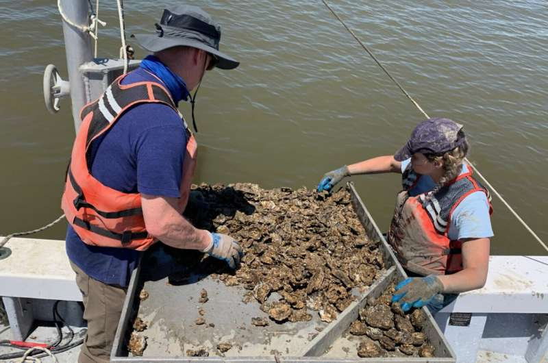 VIMS study uncovers new cause for intensification of oyster disease
