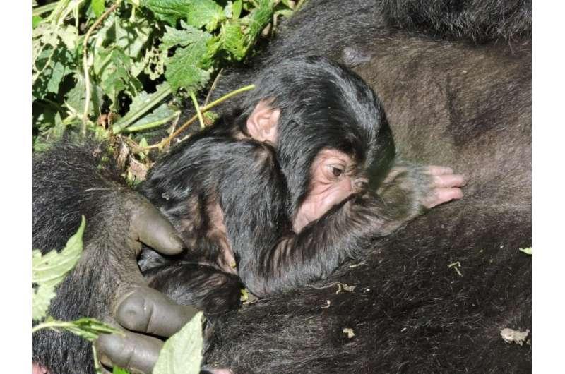 Virunga National Park's new arrival