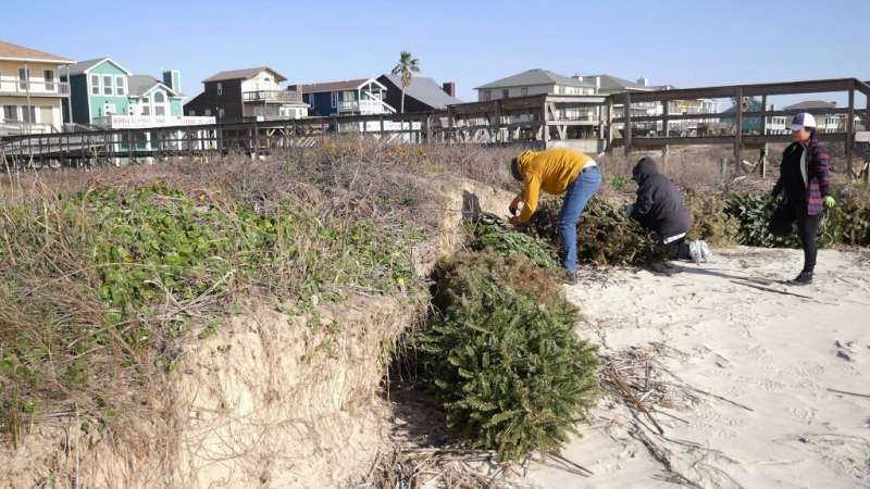 Volunteers attach recycled Christmas trees to the sand at Surfside Beach, Texas, in a yearly campaign to protect sensitive dunes