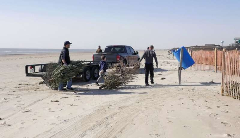 Volunteers in Surfside Beach unload recycled Christmas trees  to be used to form a natural barrier to protect sensitive sand dun