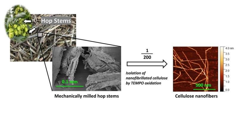 Tallo de lúpulo de desecho en la industria de la cerveza reciclado en nanofibras de celulosa