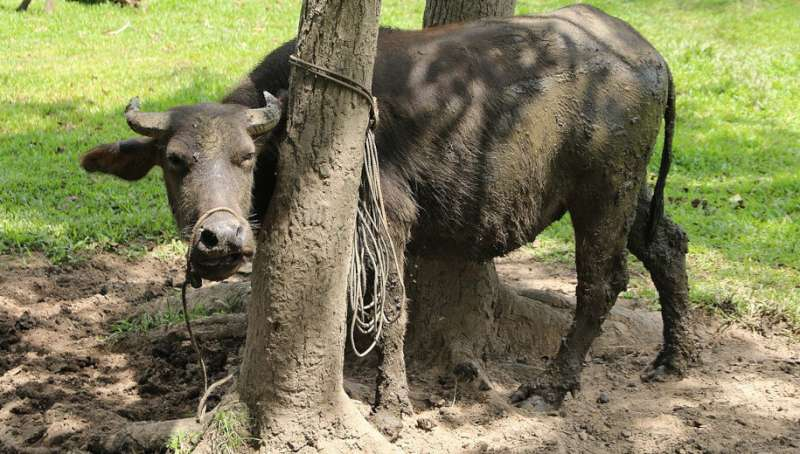 Water buffalo spreading schistosomiasis in Philippines