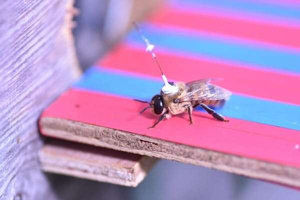 We tracked male honeybees for two years to find out where they look for sex