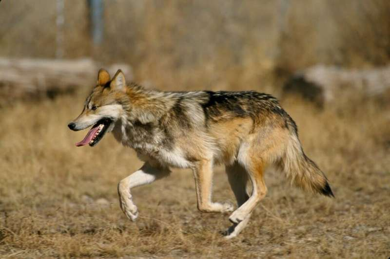 Weakened protections led to more disappearances of endangered Mexican wolves