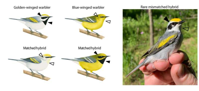 Weird warbler reveals genetics of its mismatched colors