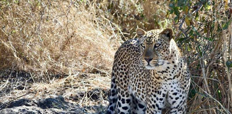 We studied the DNA of African and Asian leopards and found big differences between the two