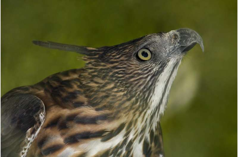 What factors put Philippine birds at risk of extinction?