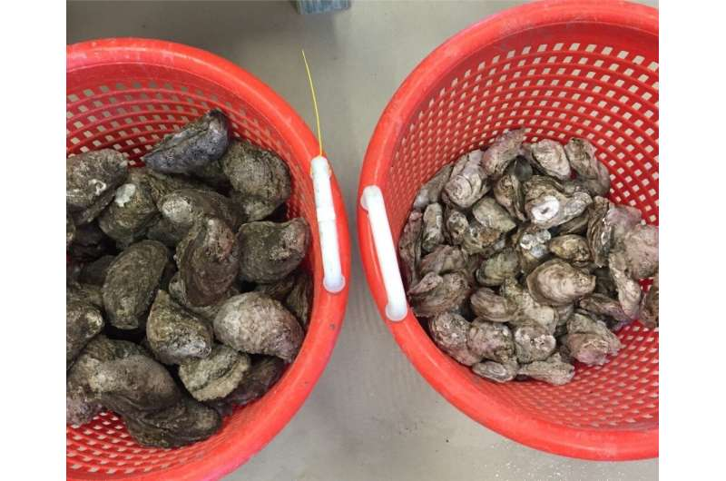 What makes some oysters more resilient than others?