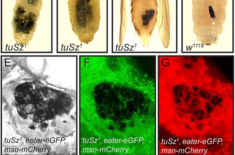 What mutant flies can teach us about autoimmune disorders