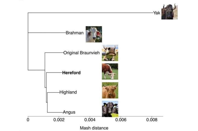 Lo que revela el nuevo pangenoma sobre los genes bovinos