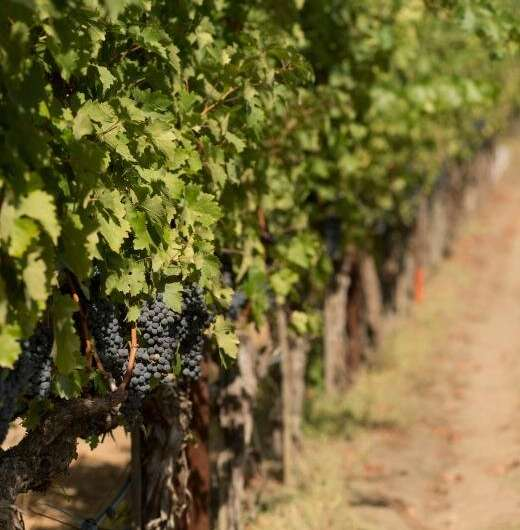 What are the solutions for climate change-impacted grapes?