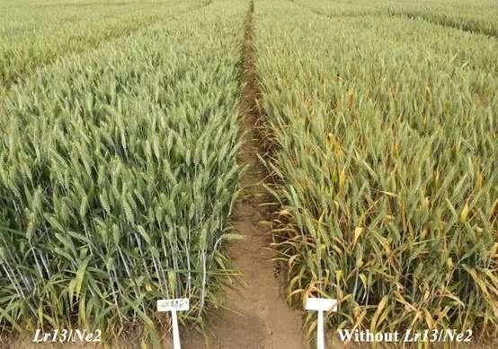 Wheat hybrid necrosis gene Ne2 provides leaf rust resistance and valuable for breeding new cultivars