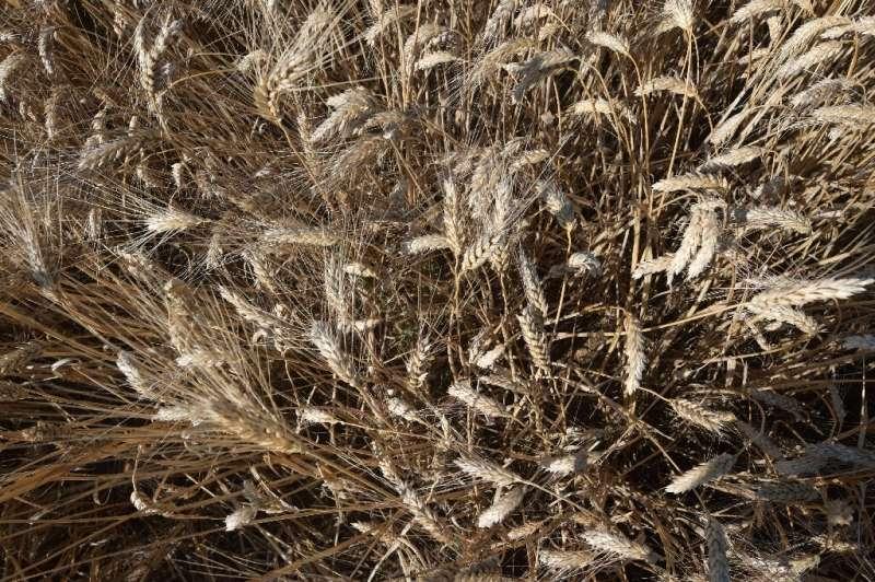 Las variedades de trigo desarrolladas en el decenio de 1980 están siendo arruinadas por enfermedades en Túnez, pero los agricultores dicen que las variedades tradicionales aparecen