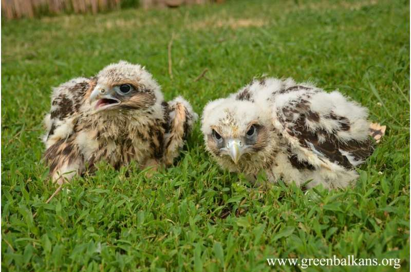 When conservation work pays off: After 20 years, the Saker Falcon breeds again in Bulgaria