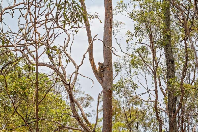 When fire hits, do koalas flee or stick to their tree? Answering these and other questions is vital