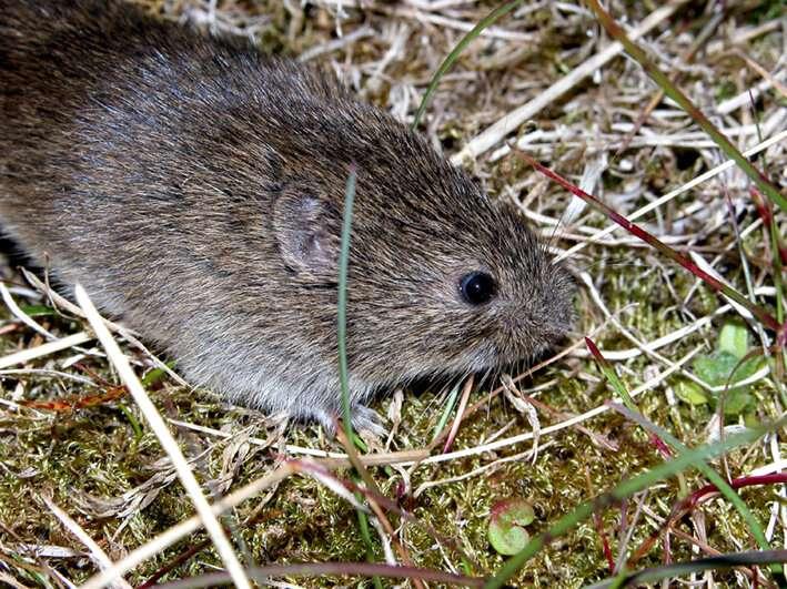 When predators matter! Study of voles on Arctic island advances knowledge of small-mammal population dynamics