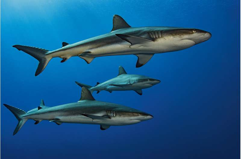 When sharks need a power nap, they go surfing
