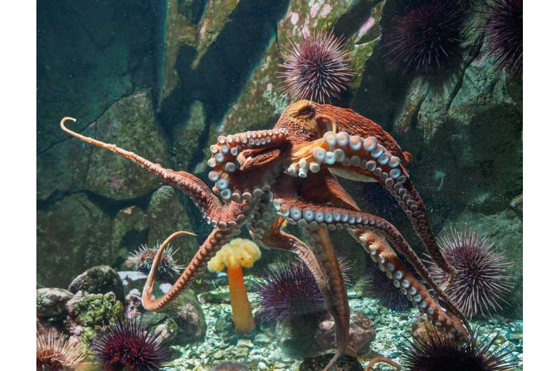 Who would win in a fight between an octopus and a seabird? Two marine biologists place their bets